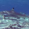 世界の海で出会った魚図鑑【ツマグロ】