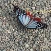 水色の蝶 アサギマダラ Parantica sita