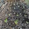 葉ネギ再生栽培