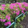 2019年 鹿沼公園のつつじ。直ぐに満開です!(5月2日朝)