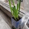キッチンのねぎ植え替えと大葉の種まき