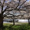 まだ桜の満開まで時間がかかりそうですね。