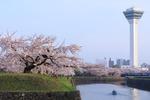 さくら満開の函館・五稜郭公園。昼も夜も楽しめる桜スポット!