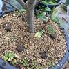 実験!ツバキ 、サザンカの鉢物にボラ土小粒