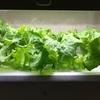 【グリーンファーム】配置を変えたレタスがもうそろそろ収穫できそう【水耕栽培】