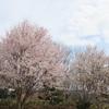 兵庫県)北雲雀きずきの森。エドヒガン、ヤマザクラ開花。アオジ、ジョウビタキ、ヤマガラ、シジュウカラ、ホオジロ、エナガ、シロハラ。