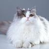 猫の種類 ~ペルシャ~