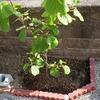 スーパーエメラルドの花芽が出てきました