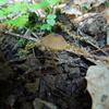 木陰にひっそりと ヒメコガサ