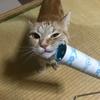 猫はコロコロクリーナーでマッサージされるのが大好きみたいです