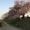 京都街歩き㉘お花見しました