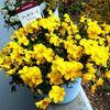 フィオリーナ(ビオラ)の花付きがここにきて素晴らしい