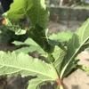 オクラ 初収穫とハマキムシ