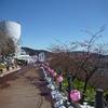 松田山ハーブガーデンからの富士山!相模湾!伊豆大島!桜&昨夜は父のお誕生会でした。