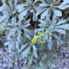 常緑のシルバーリーフ『モクビャッコウ』の成長と晩秋の開花!~山下公園で見かけたモクビャッコウのレポートも