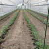 【農業体験】 トマトの苗を植えてきました!