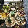 🌵多肉植物   3月の多肉棚🌵