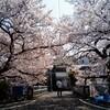 宇治川の桜は、やっぱこのアングルだよねー