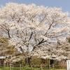【樹齢1000年⁉】醍醐桜を見てきました!駐車場(有料)あり【岡山県真庭市】