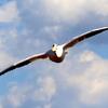 青空に飛ぶモモイロペリカン