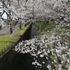 【散歩】「田島桜の里(剣沢川沿いの桜並木)」の桜が絢爛・満開(小田原市)