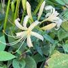 シロバナヒガンバナがやっと開花.ヒガンバナ(赤花)は遅れています.秋になっても猛暑が続いたことがヒガンバナの開花を遅らせたのでしょう.ヒガンバナ同様,我が家の庭の一部では開花が遅れているように思います.宿根アスターは,昨年購入した1種のみ満開.ビクトリア系はつぼみのまま.クジャクアスターは花すらほとんどついていません.それでも秋は着実にやって来ています.フジバカマ,ホウライムラサキとムラサキシキブの実----そして,夏の間,食卓に香をくれた青じその最後の花が咲き終わろうとしています.