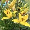 ☆花 ゆり ブタナ カエル🐸 もみじ紅葉 & 猫 ツバメ