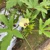 猛暑の中、追肥をしても肥料不足のオクラの葉っぱ・・・対処法は?