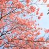さくら・初花(品種名が分かりません)