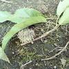 地面にどんぐりの付いた木の枝がたくさん落ちている? 犯人は昆虫かも!
