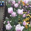チューリップがめちゃ咲き