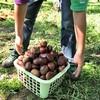 茨城で大粒な栗を拾い放題、福田グリーン農園にお邪魔しました