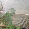 タイ東北部イサーンの田舎のしょぼいティラピア稚魚漁 2016