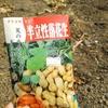芒種に落花生の種まきを実施