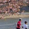 続河津桜が咲いてます(後編)