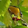 ベリーズ アルツンハの Yellow-throated Euphonia(イエロースローテッド エウホニア)