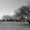 手賀沼遊歩道の桜とスズメとツグミ