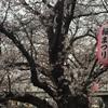 酌み交わす頭上の桜麻生川