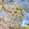 桜 「末広体育館」の桜がそろそろ見頃ですよーっ!と、桜の写真で気になっていること。