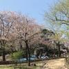 隅田川公園で舞桜!浅草ラーメン『メンマル』