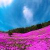【芝桜】日本最大級!無限に広がるピンク。北海道滝上町