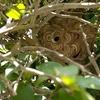 湖西市で植木の中に出来た蜂の巣を退治してきました!
