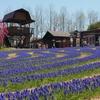 世羅高原農場の花畑風景 NO,2(広島県世羅町)