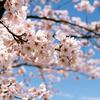 サンルーラル大潟の桜2(秋田県南秋田郡大潟村)