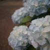 【6月のお花散歩】アジサイの写真撮りました&紫陽花珈琲(札幌)