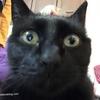 【黒猫日誌】猫の便秘に効いた餌と新幹線と引き取って1週間が経過したメモ