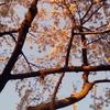 3/26(月)の「朝桜」