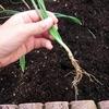 玉ねぎ苗の植え付け