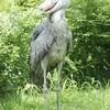 「動かない怪鳥」ハシビロコウ公開…高知・のいち動物公園