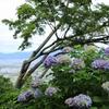西国第二十番札所「善峯寺」紫陽花